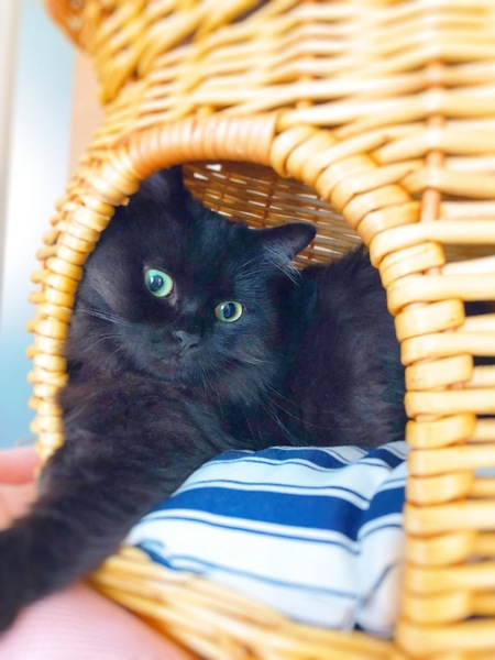 猫 マンチカン ふぅの写真