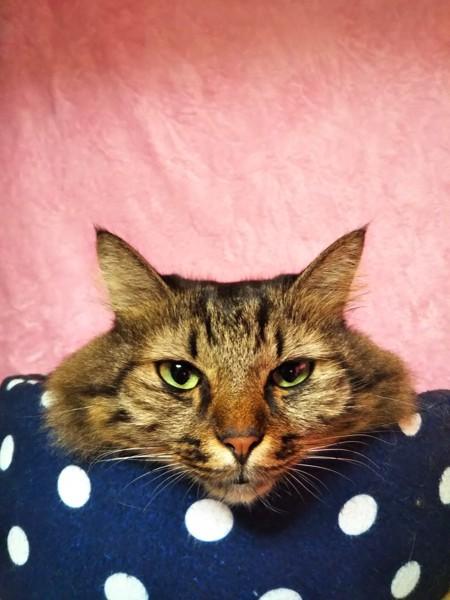 猫 キジトラ ぽんの写真