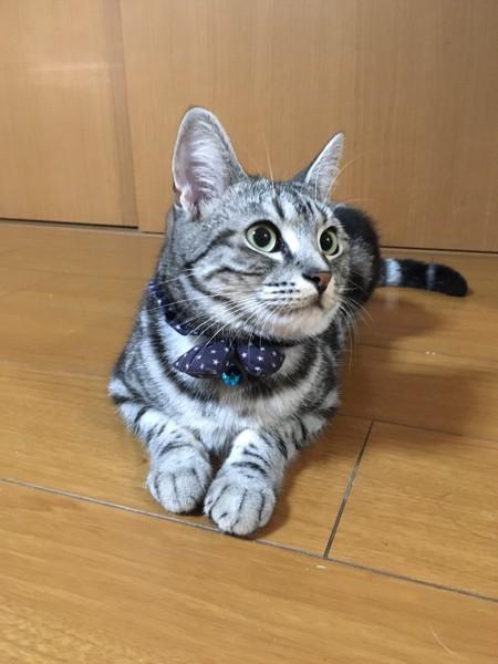 猫 アメリカンショートヘア フミの写真