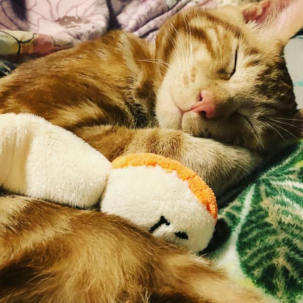 猫 茶トラ がんの写真