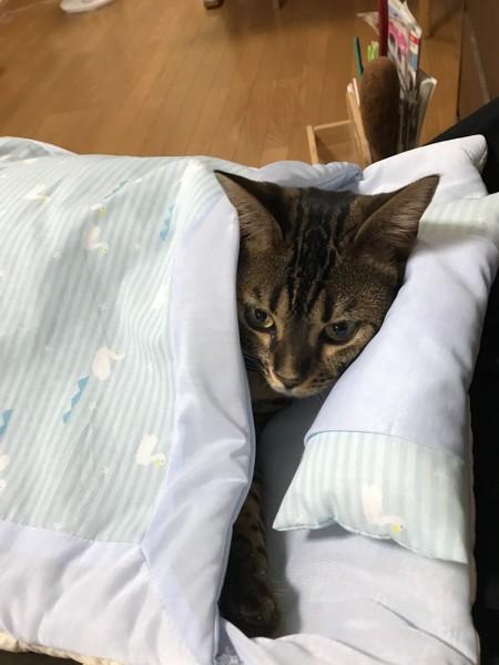 猫 ベンガル こむぎの写真