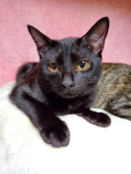 猫 黒猫 まうたの写真