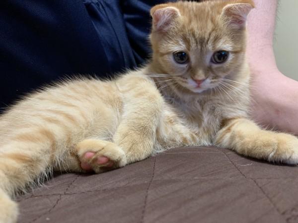 猫 スコティッシュフォールド ココの写真