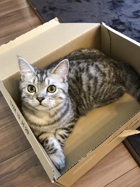 猫 スコティッシュフォールド いちごの写真