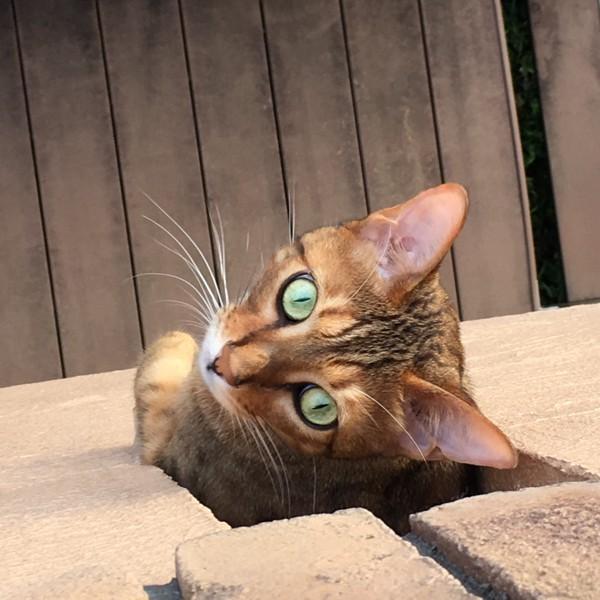 猫 ベンガル オリオン💫の写真