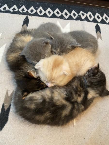 猫 スコティッシュフォールド ミルクの子どもの写真