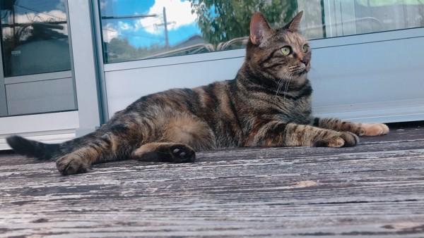 猫 雑種(ミックス) くうの写真