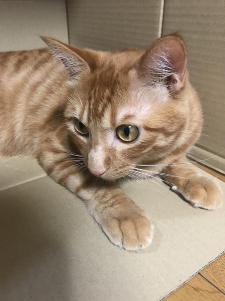 猫 茶トラ チャチャの写真