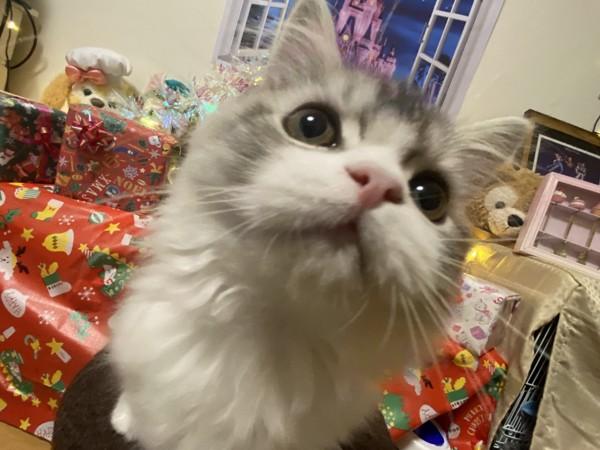 猫 スコティッシュストレート バニラの写真
