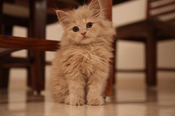 猫 ペルシャ ポメ太郎の写真