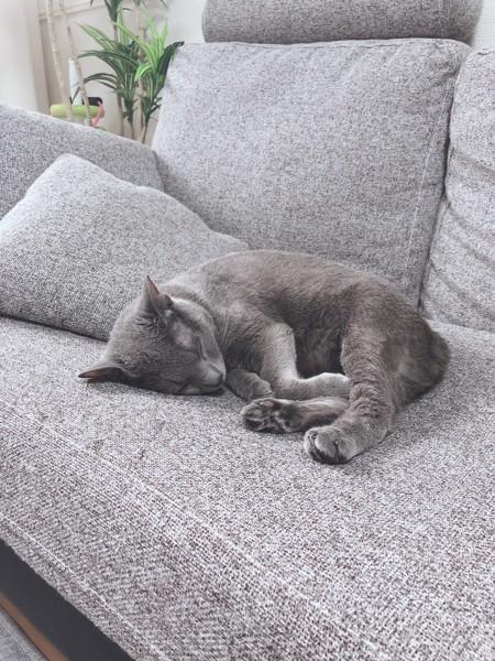 猫 ロシアンブルー ぎんちゃんの写真
