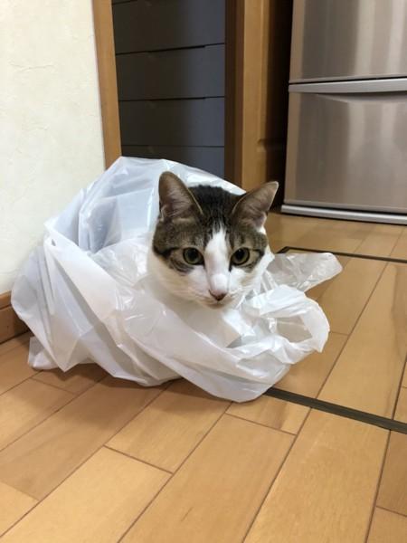 猫 キジシロ けんじろうの写真