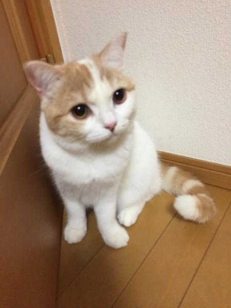 猫 スコティッシュストレート もかの写真