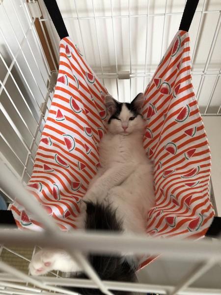 猫 メインクーン ぼうちゃんの写真