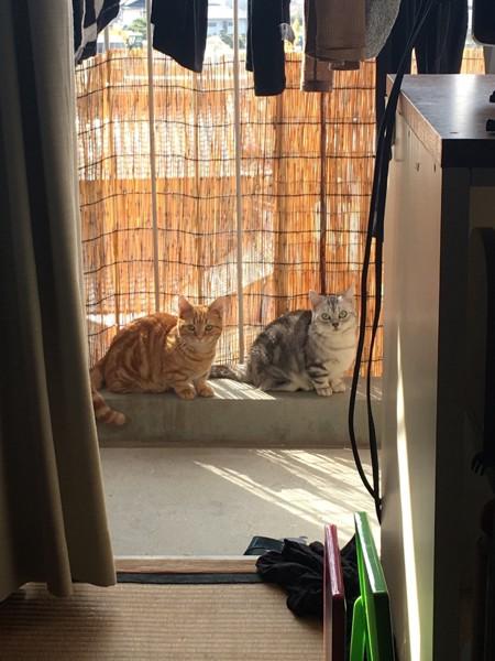 猫 マンチカン ナミ、ビビの写真
