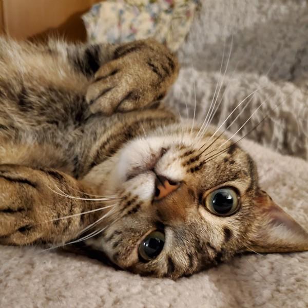 猫 キジトラ むぎの写真