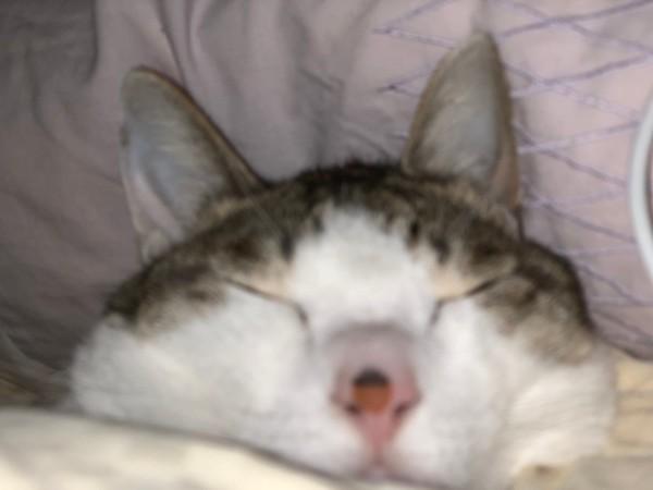 猫 キジシロ ライチの写真