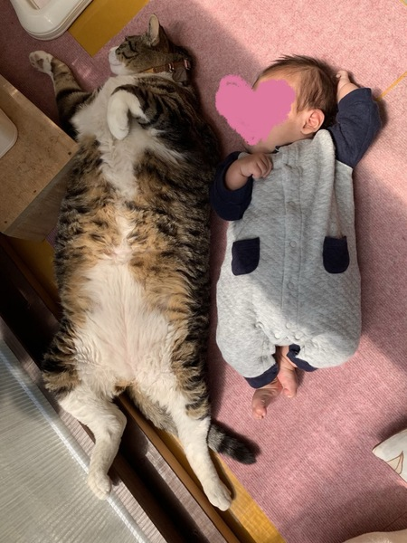 猫 キジトラ ミャーの写真