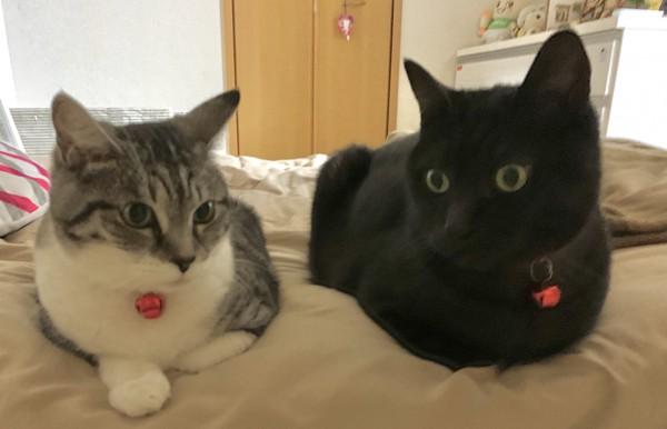 猫 雑種(ミックス) シマクロちゃんの写真