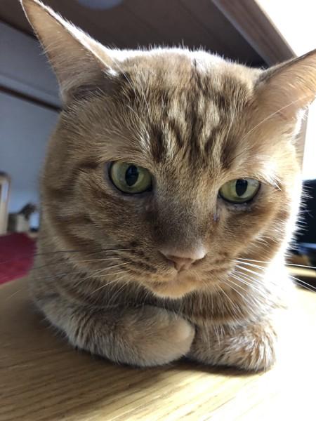猫 雑種(ミックス) キャメルの写真