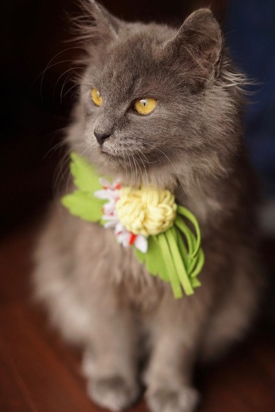 猫 メインクーン フェリーチェの写真