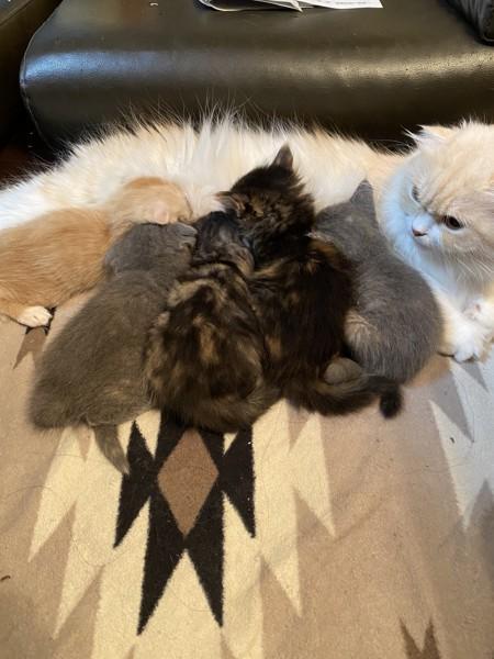 猫 スコティッシュフォールド ミルクの写真