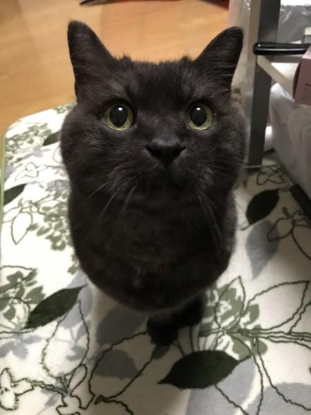 猫 アメショ×ヒマラヤン ププの写真