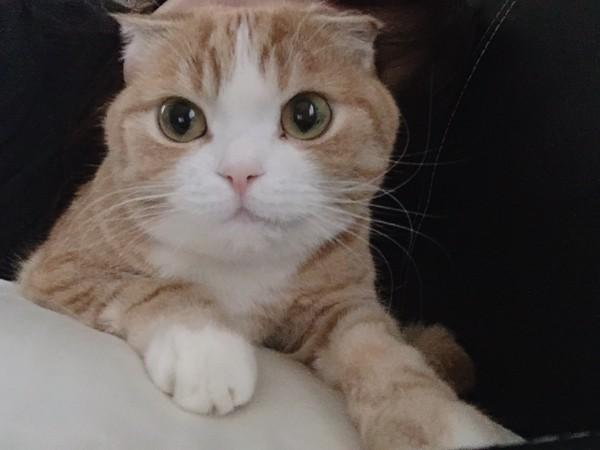 猫 スコティッシュフォールド メルの写真