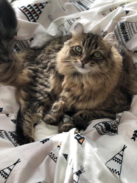猫 アメリカンカール ももちゃんの写真