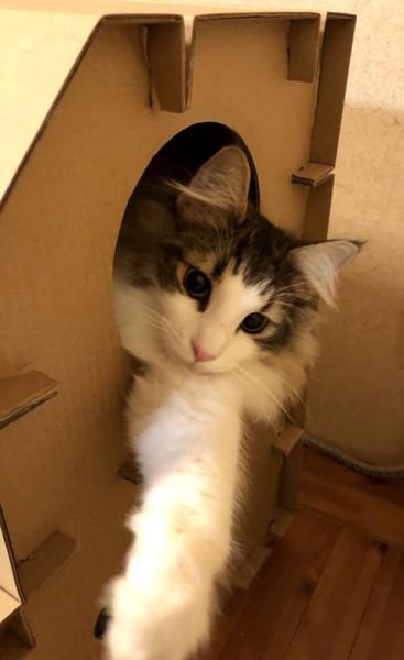 猫 ノルウェージャンフォレストキャット シエルの写真