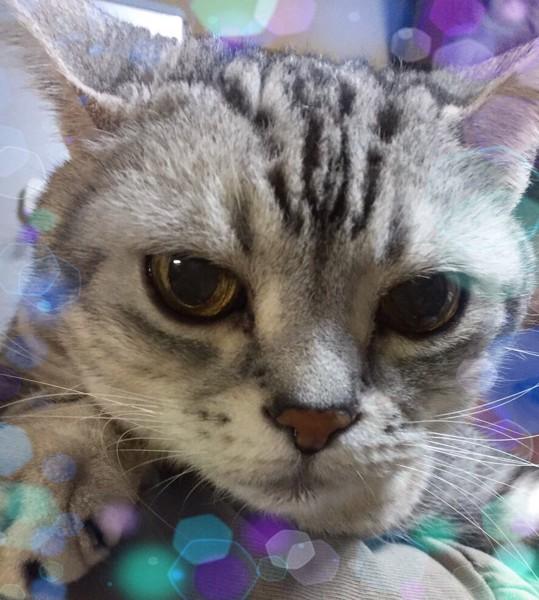 猫 アメリカンショートヘア 流駆の写真