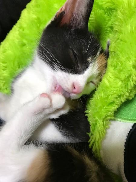 猫 三毛猫 ちゅんの写真