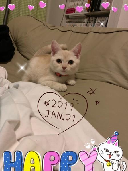 猫 スコティッシュフォールド ちむの写真