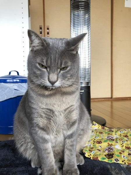 猫 サバトラ さばの写真