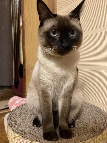 猫 シャム ゆうの写真
