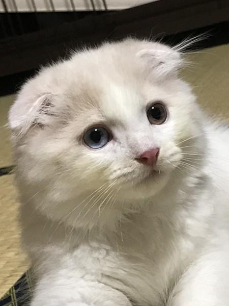 猫 スコティッシュフォールド 7(セブン)の写真