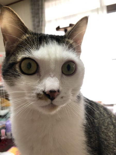 猫 キジ白 くうちゃんの写真