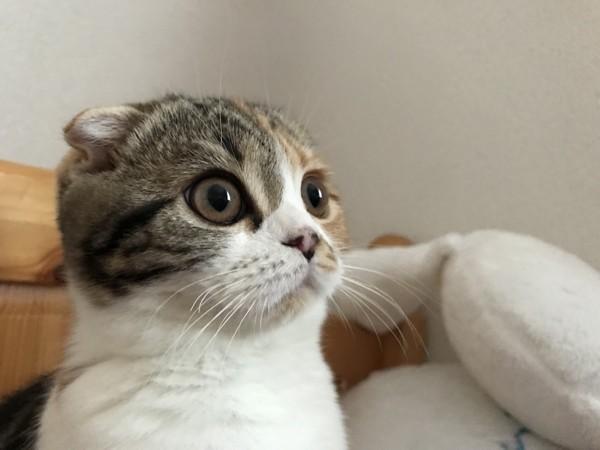 猫 スコティッシュフォールド ミミの写真