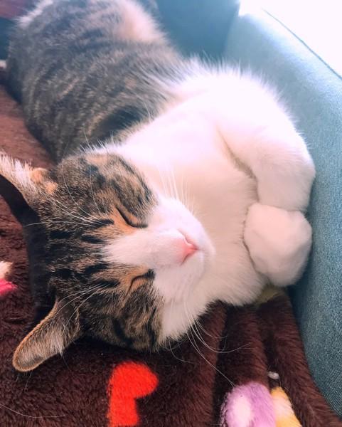 猫 茶白トラ ビスコの写真