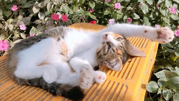 猫 三毛猫 きょもの写真