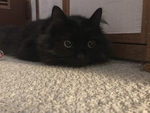 猫 黒猫 ジジの写真
