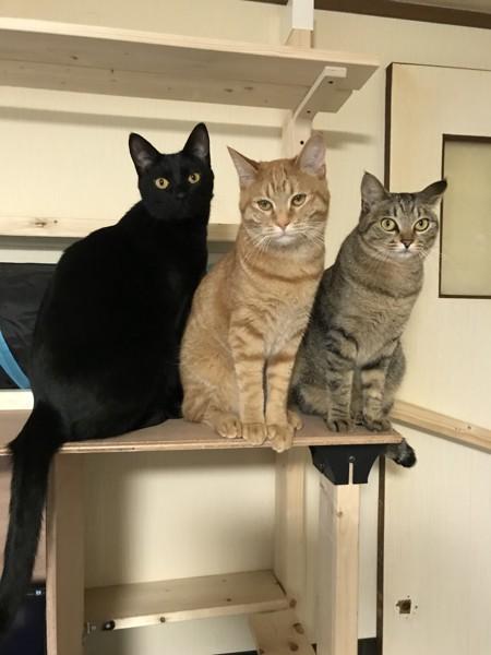 猫 キジトラ、黒猫、茶トラ 茶々&武蔵 &琥太郎の写真
