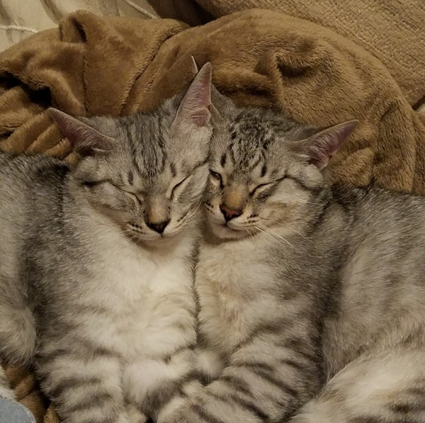 猫 雑種(ミックス) 凛太郎、蓮太郎の写真