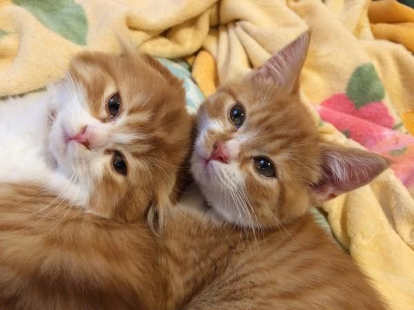 猫 スコティッシュフォールド じる・うにの写真