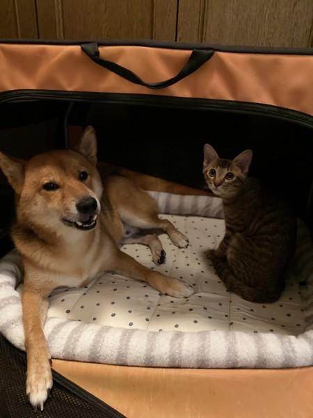 猫 キジトラ てんの写真