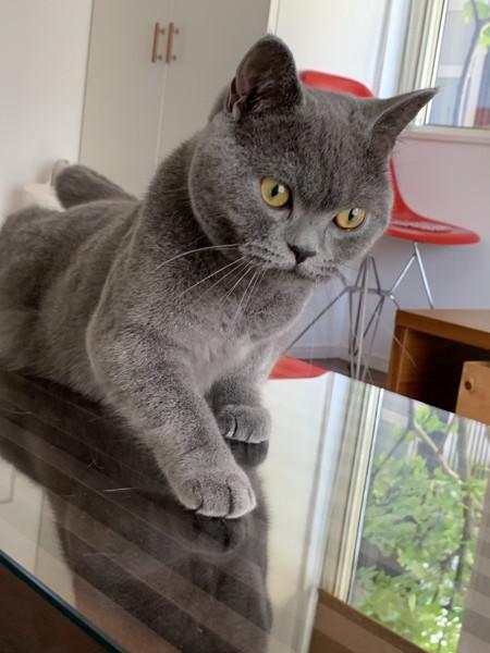猫 ブリティッシュショートヘア ザックの写真