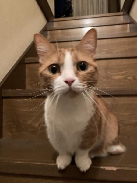 猫 マンチカン チャーの写真