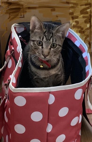 猫 キジトラ レモンの写真