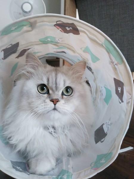 猫 ペルシャ ロワの写真