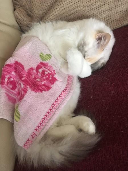 猫 ラグドール ロージーちゃんの写真